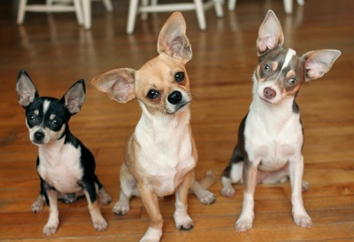 Chihuahuax3 are they classed as guard dogs